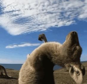 抖音袋鼠摇手怎么拍-袋鼠摇手的视频制作教程
